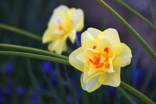 Free stock photo of beautiful flowers, daffodils, flowers