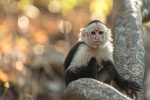 Free stock photo of whiteheaded capuchin