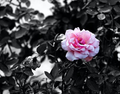 Free stock photo of black and white, color, contrast, Pink Rose