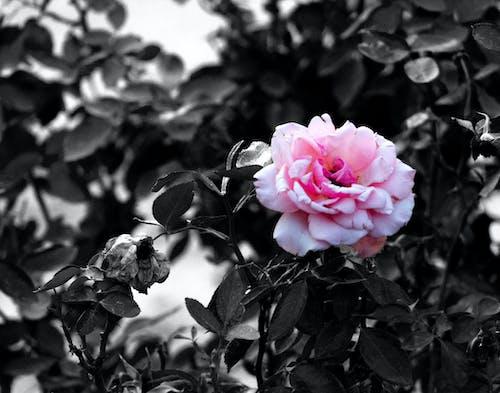 Gratis lagerfoto af farve, kontrast, lyserød rose, sort og hvid