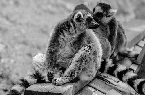 Grayscale Photo of Ring Tailed Lemur