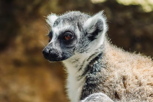 White and Black Lemur in Close Up Photography