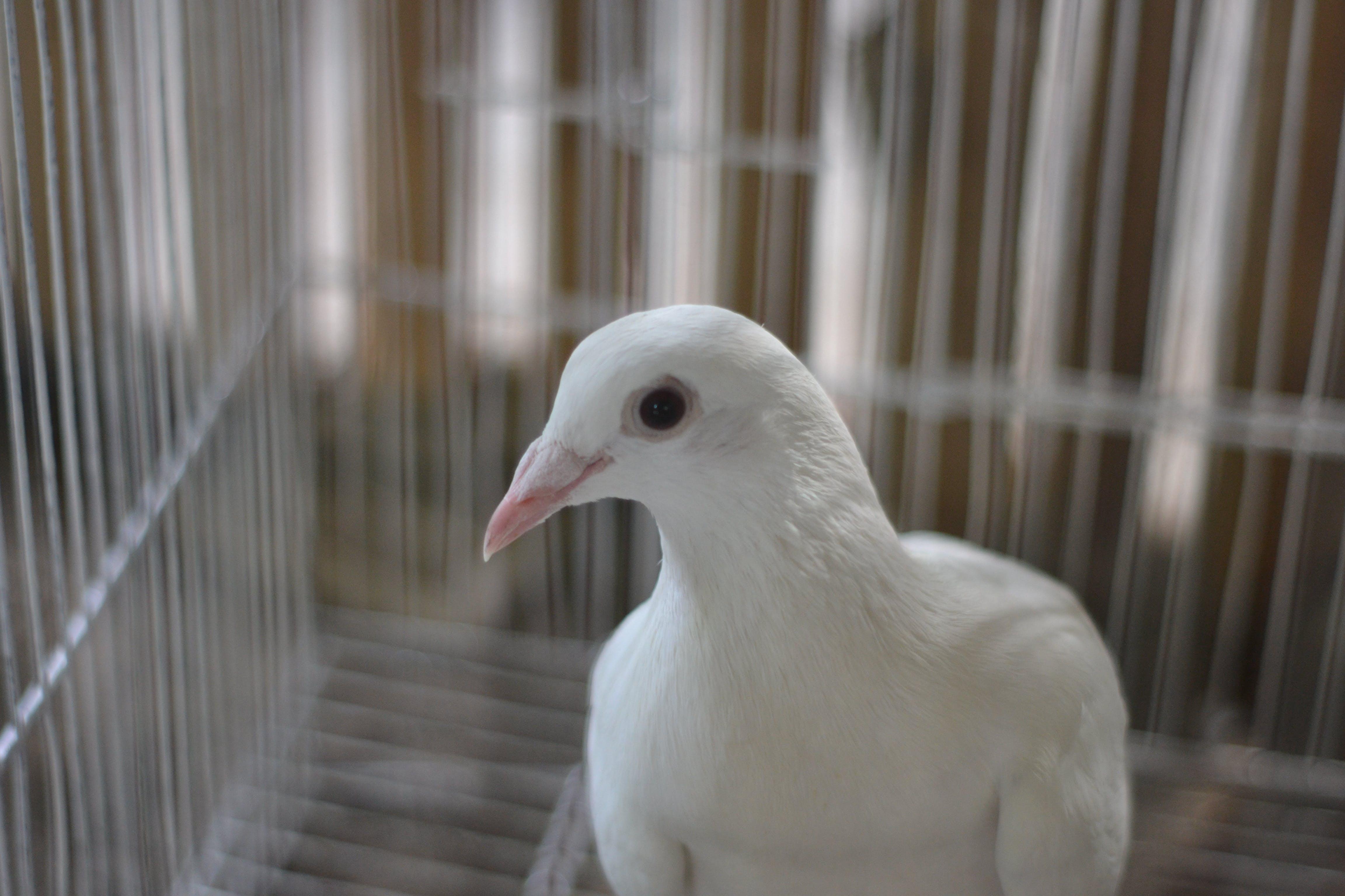 Portrait of White Pigeon