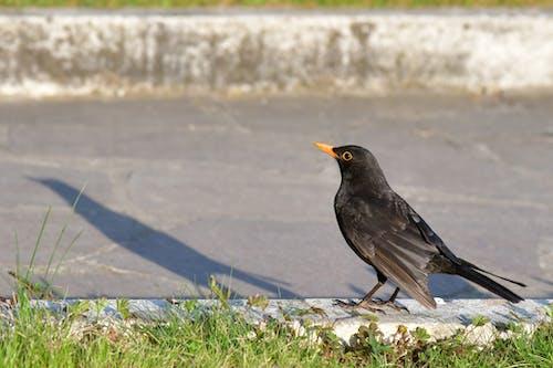 Free stock photo of animal, blackbird, driveway