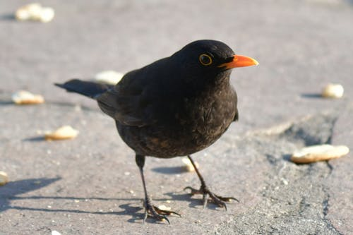 Free stock photo of animal, blackbird, bread crumbs