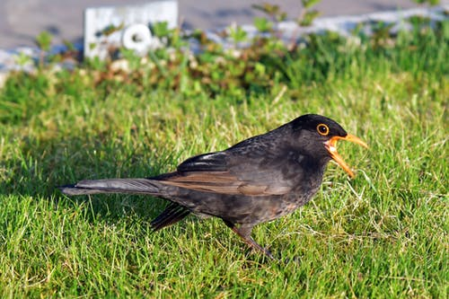 Free stock photo of beauty of nature, blackbird, eating
