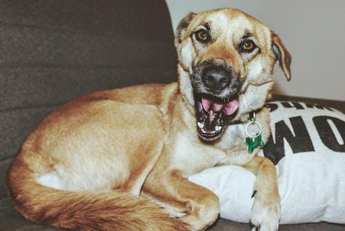 Free stock photo of brown dog, cheerful mood, cute dog