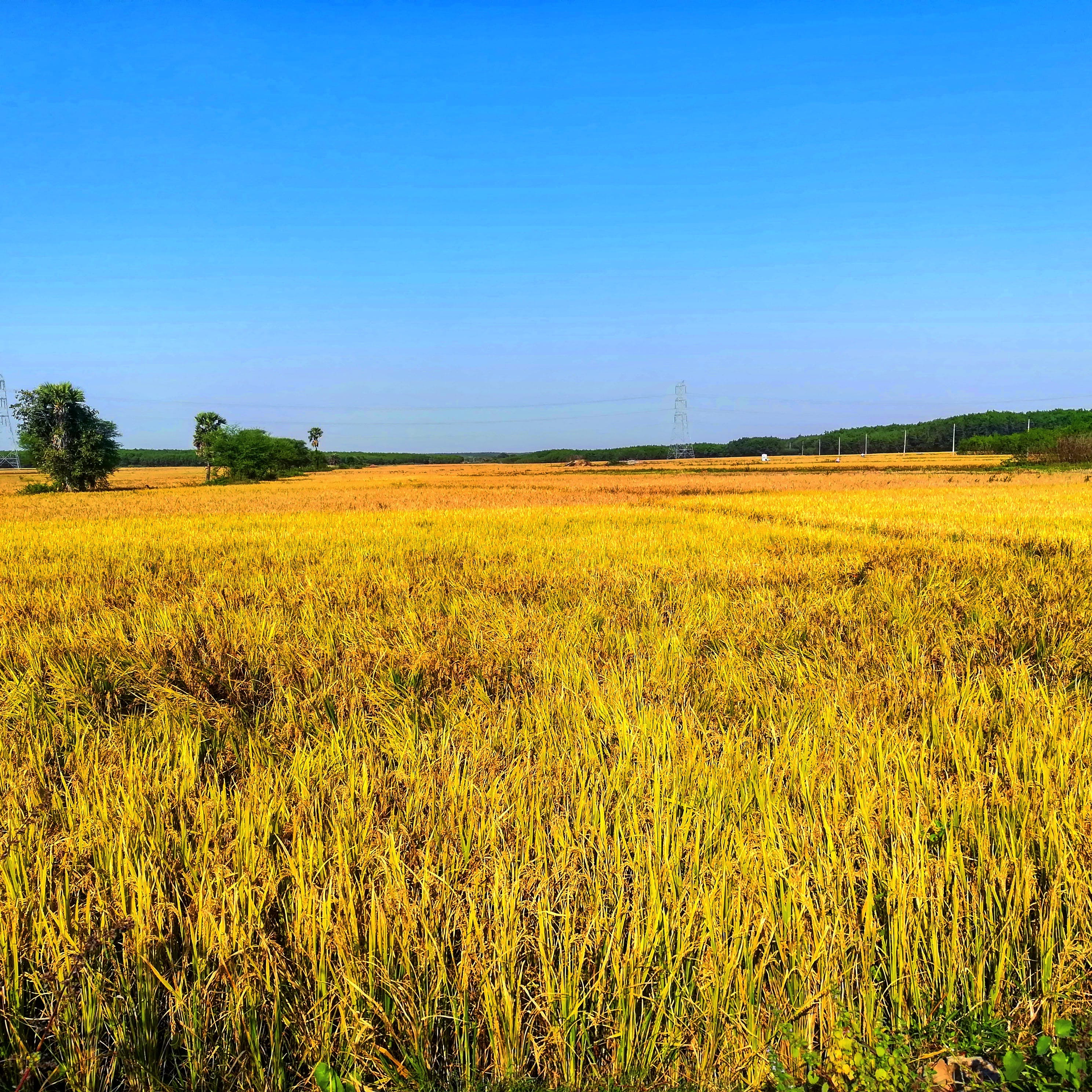 Free stock photo of food crop, harvest time, Paddy crop, rice field