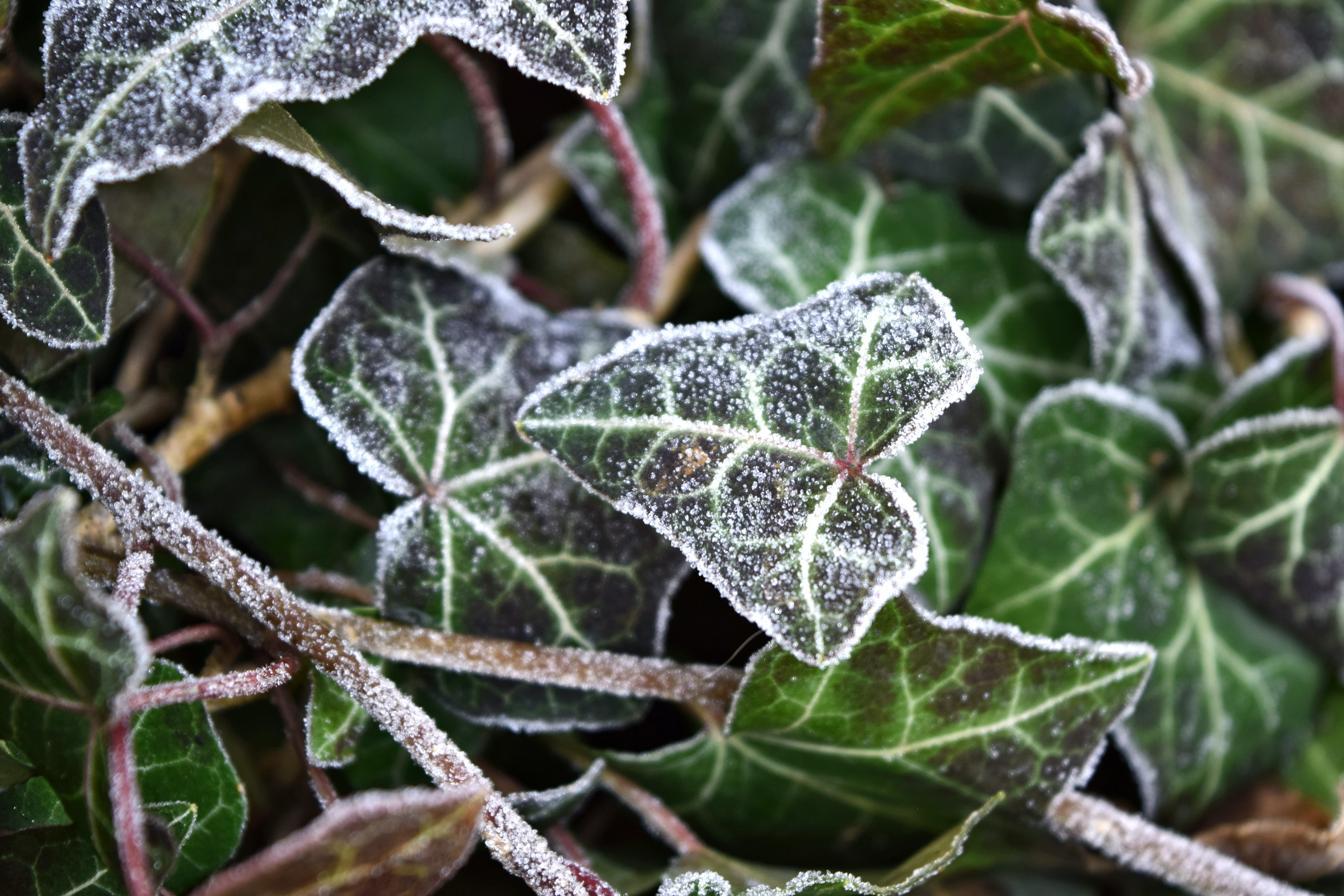 Free stock photo of winter, ivy, frost