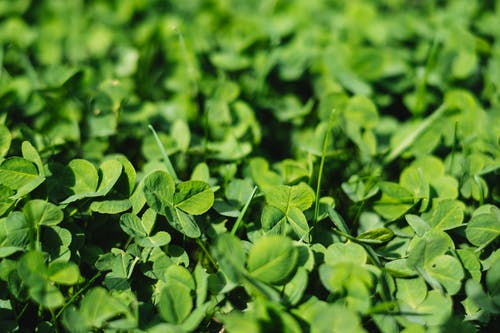 Free stock photo of clover, spring