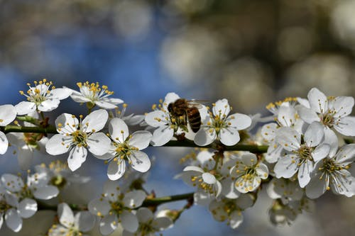 A Bee Pollinating on a Cherry Blossom Flower