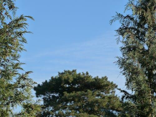 Kostenloses Stock Foto zu bäume, kiefer
