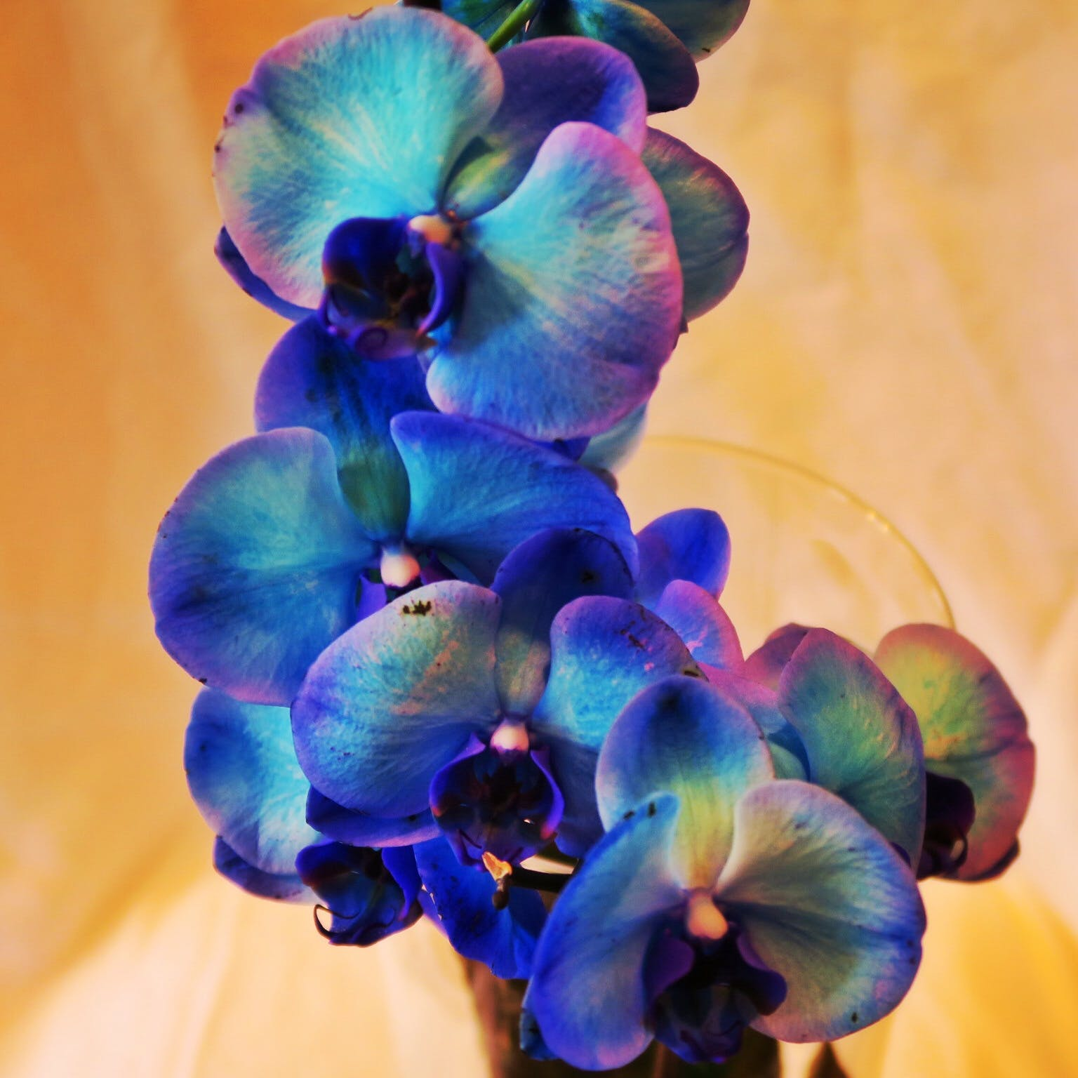 Free stock photo of flowers, blue, flora, orchid