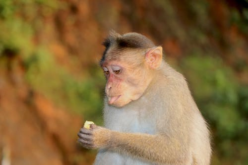Free stock photo of monkey, monkey sitting, monkeys