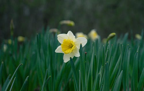 Close-Up Shot of Wild Daffodil in Bloom