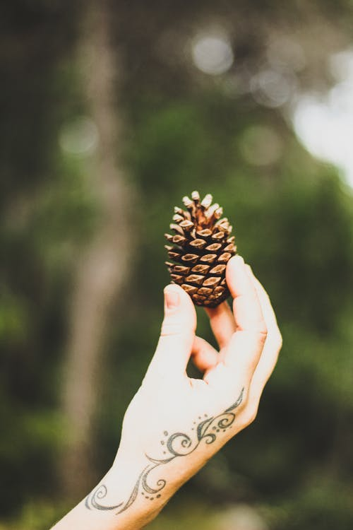 Immagine gratuita di concentrarsi, dita, mano, pigna di conifera
