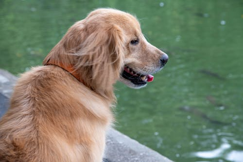 Free stock photo of big dog, dog walk, golden retriever