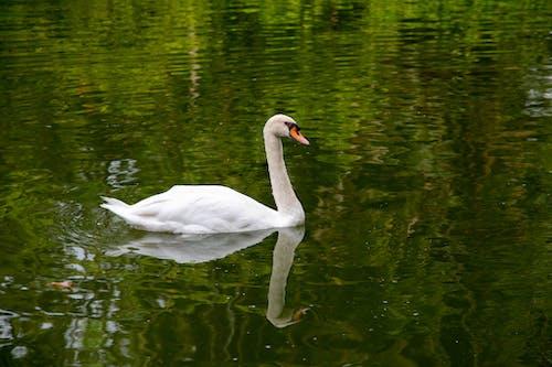 Free stock photo of botanical garden, singapore, swan