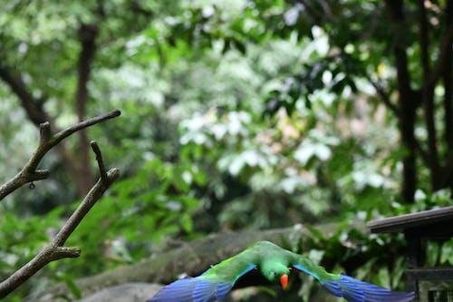 Free stock photo of bird flying, parrot, singapore