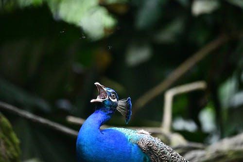 Free stock photo of peacock, peacock call, singapore