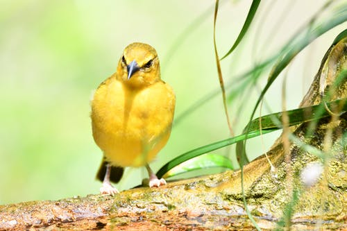 Free stock photo of bird, yellow bird