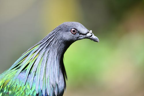 Blue and Green Peacock in Close Up Photography