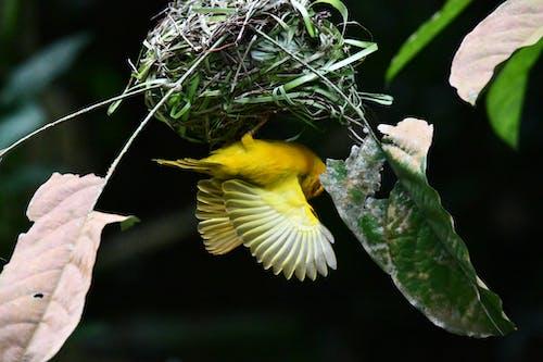 Free stock photo of bird nest, flying bird, nest