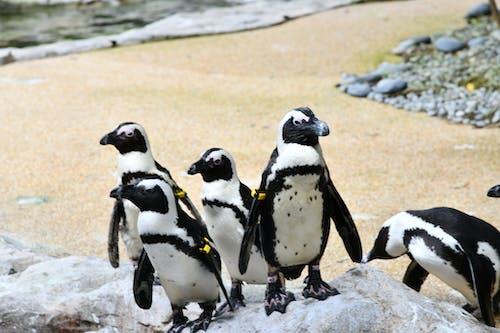 Free stock photo of penguin