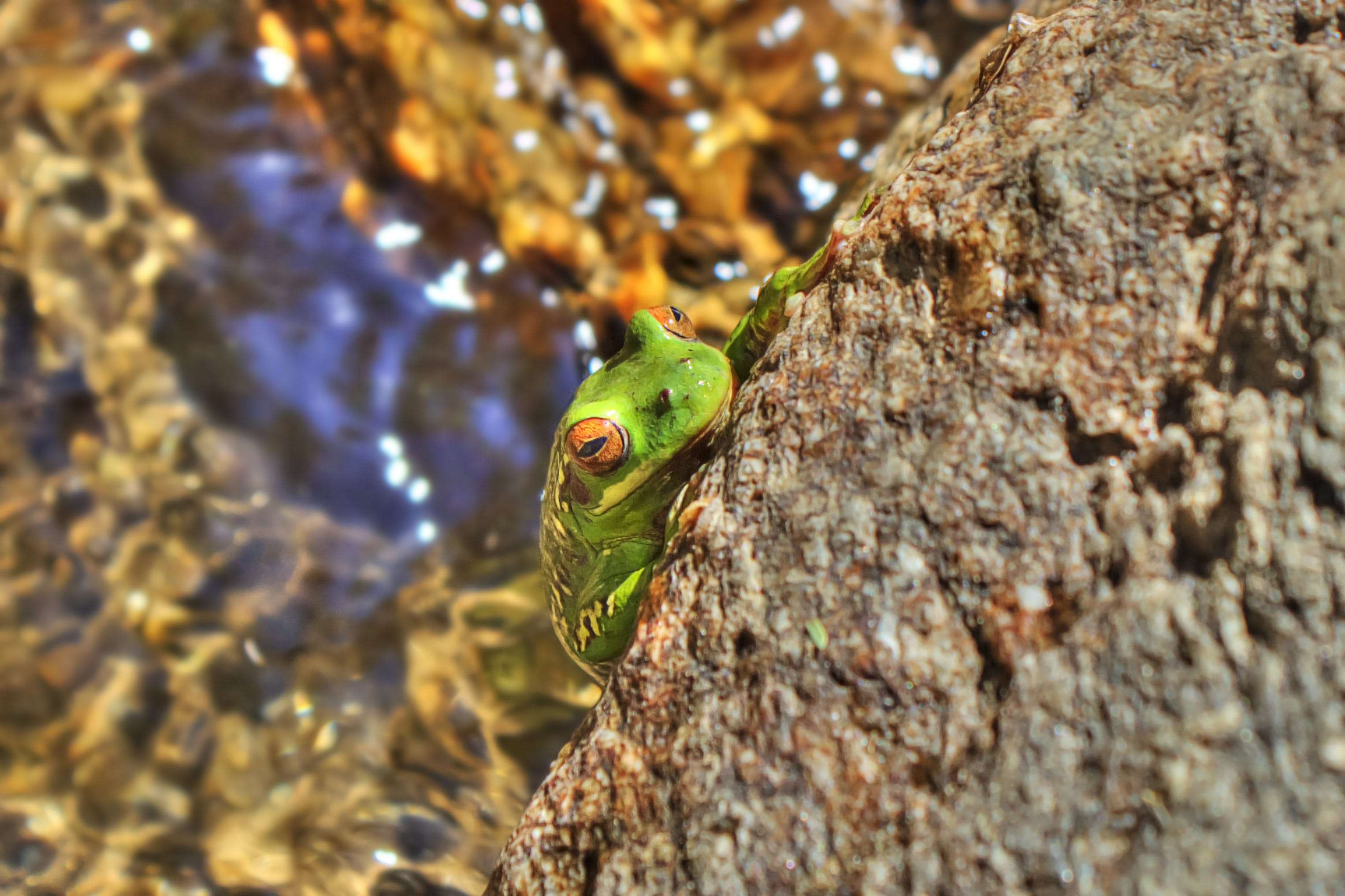Free stock photo of color, frog, green, hdr
