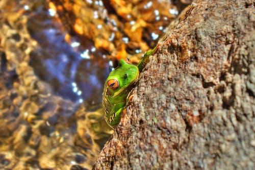 Foto d'estoc gratuïta de color, granota, gripau, hdr
