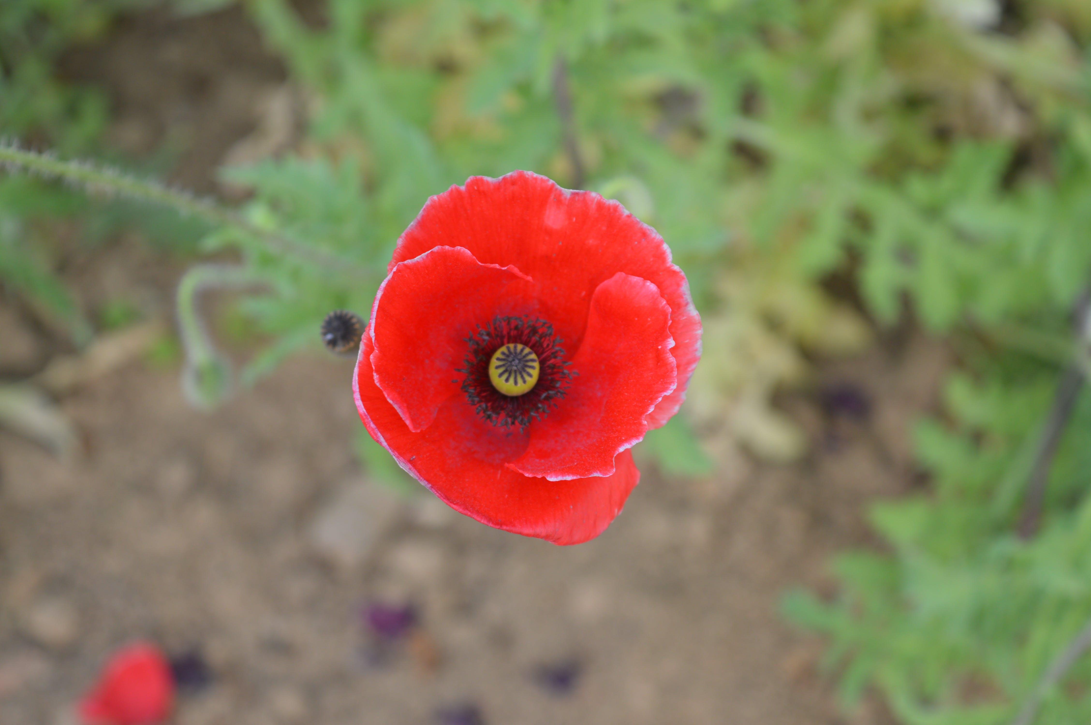 Free stock photo of flower, red flower, single flower
