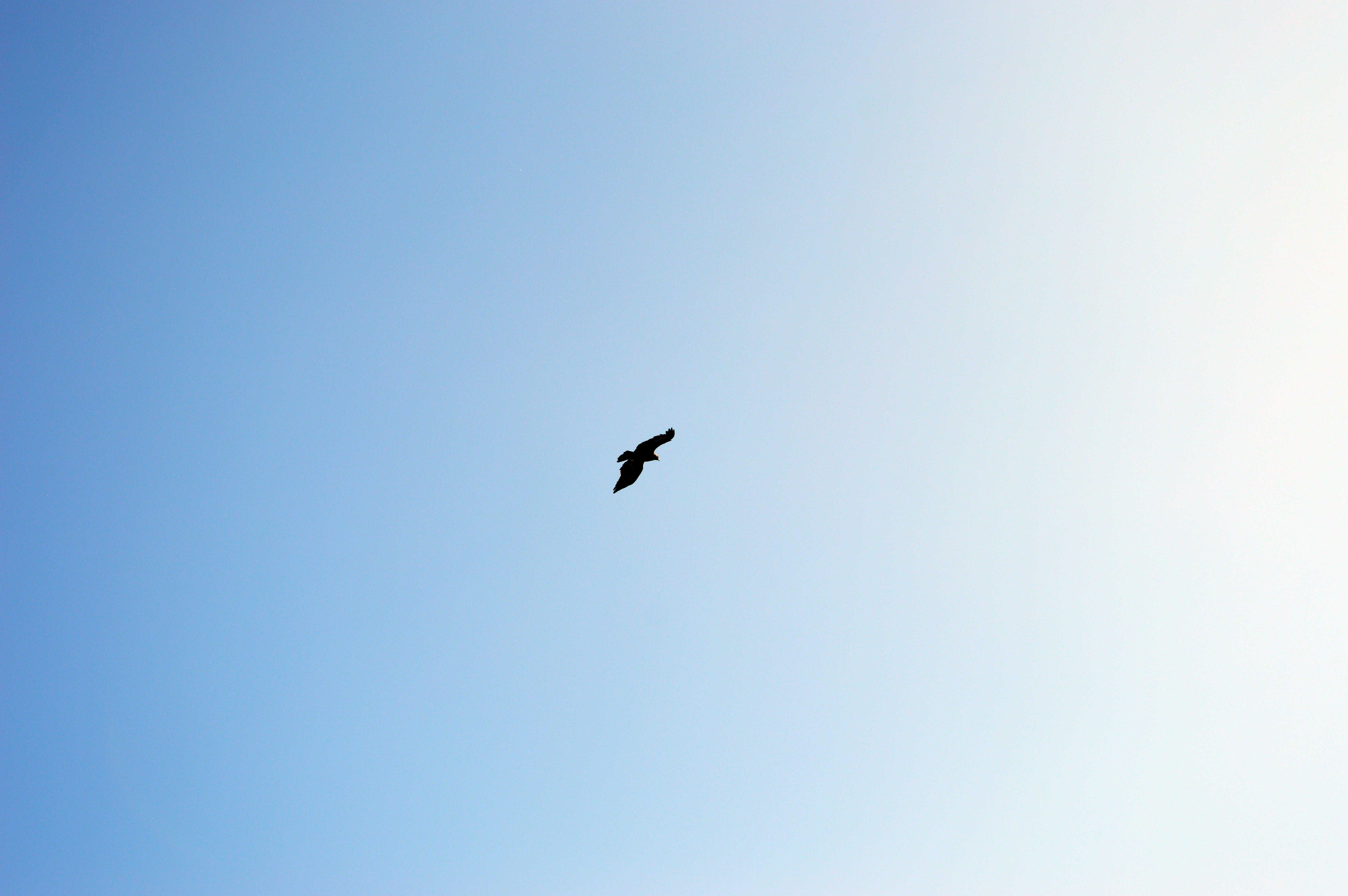 Free stock photo of blue sky, clear sky, eagle, kite
