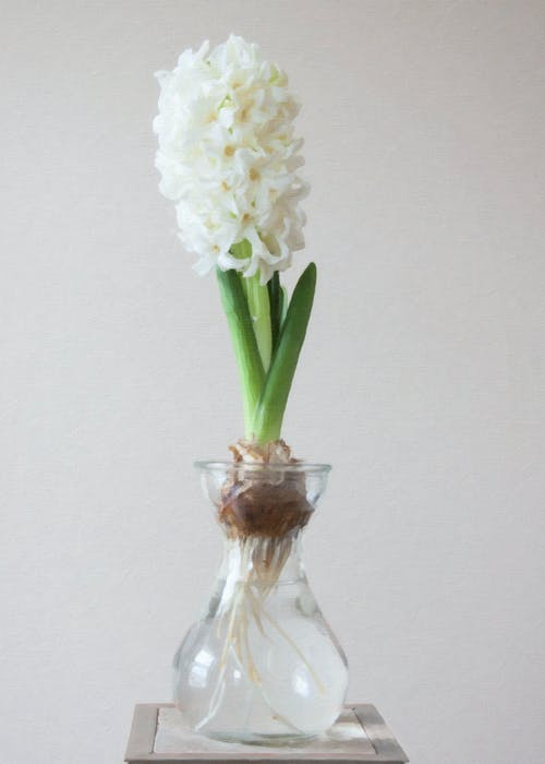 Photography of White Flower on Clear Glass Vase
