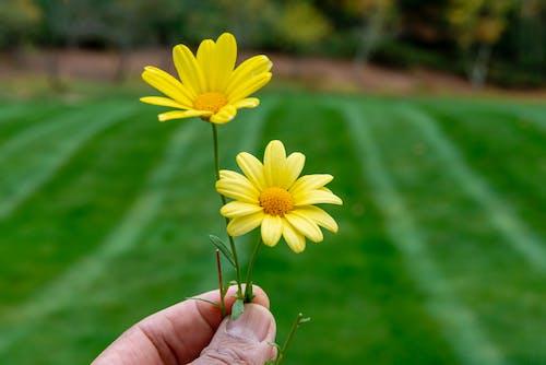 Free stock photo of daisy, flower, hand