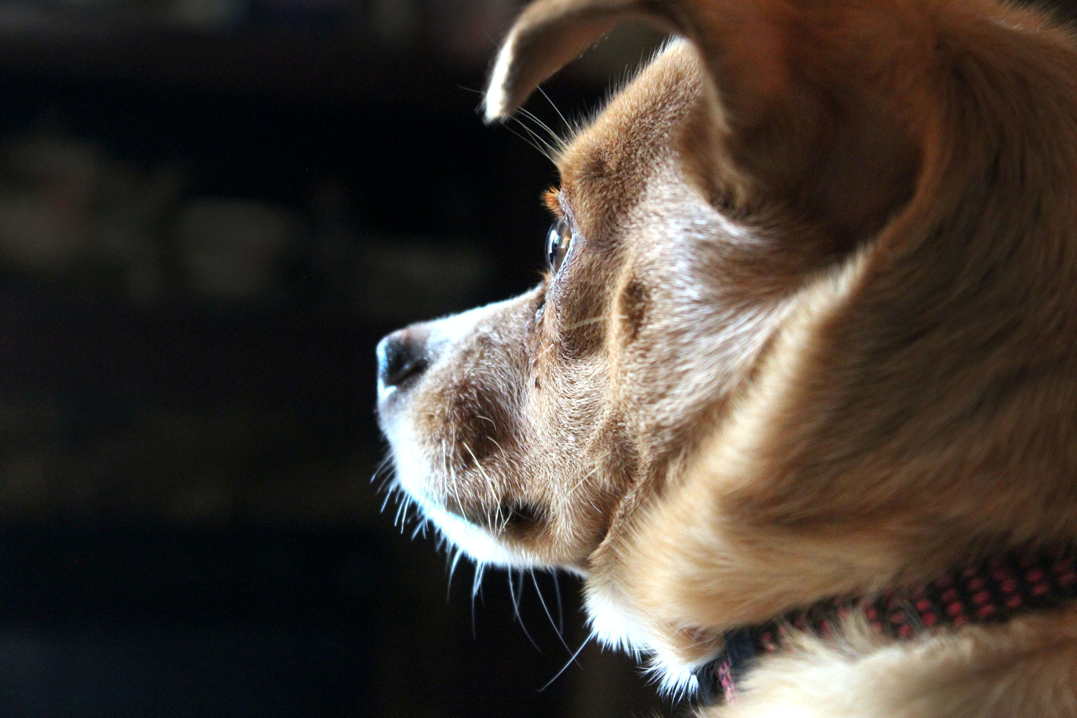 Closeup Photo of Short-coated Tan Dog