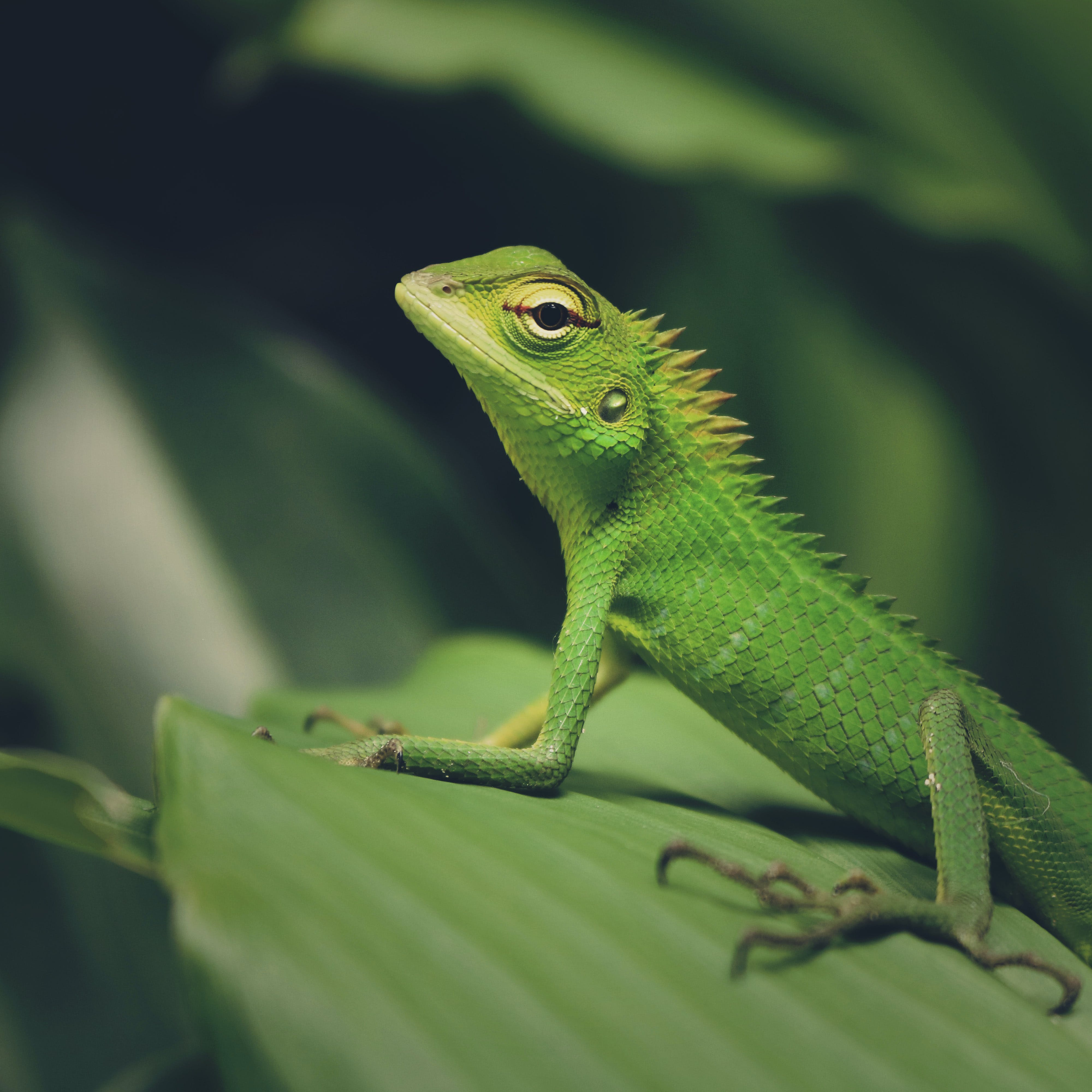 Macro Photography of Green Crested Lizard