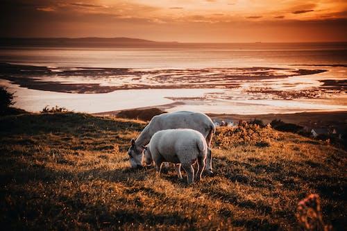 Immagine gratuita di acqua, alba, animali, animali della fattoria