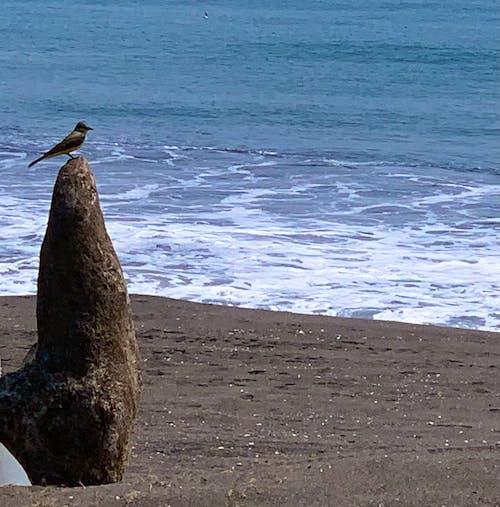 Free stock photo of beach, bird, black sand