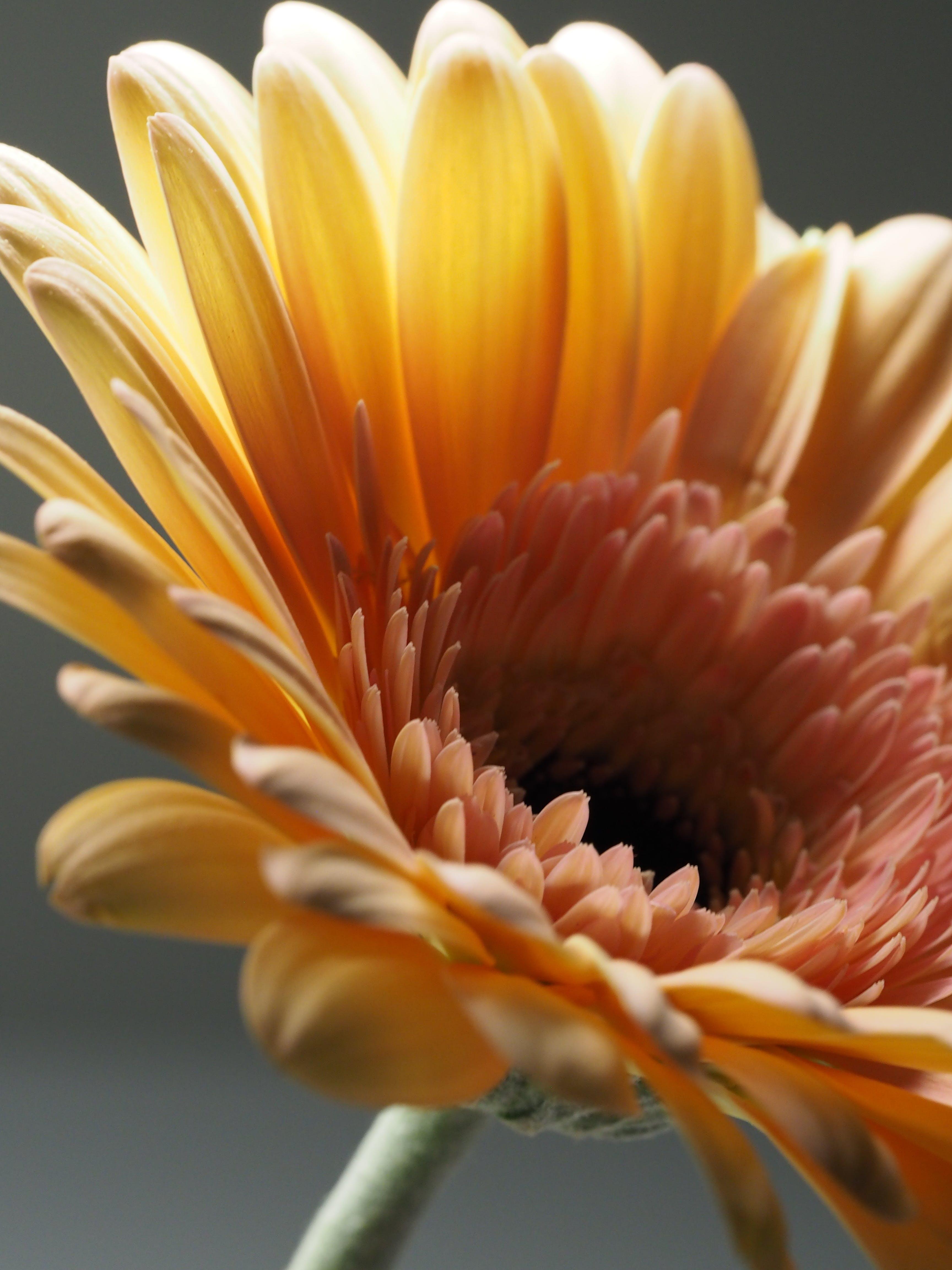 Základová fotografie zdarma na téma flóra, gerbera, hloubka ostrosti, jemný