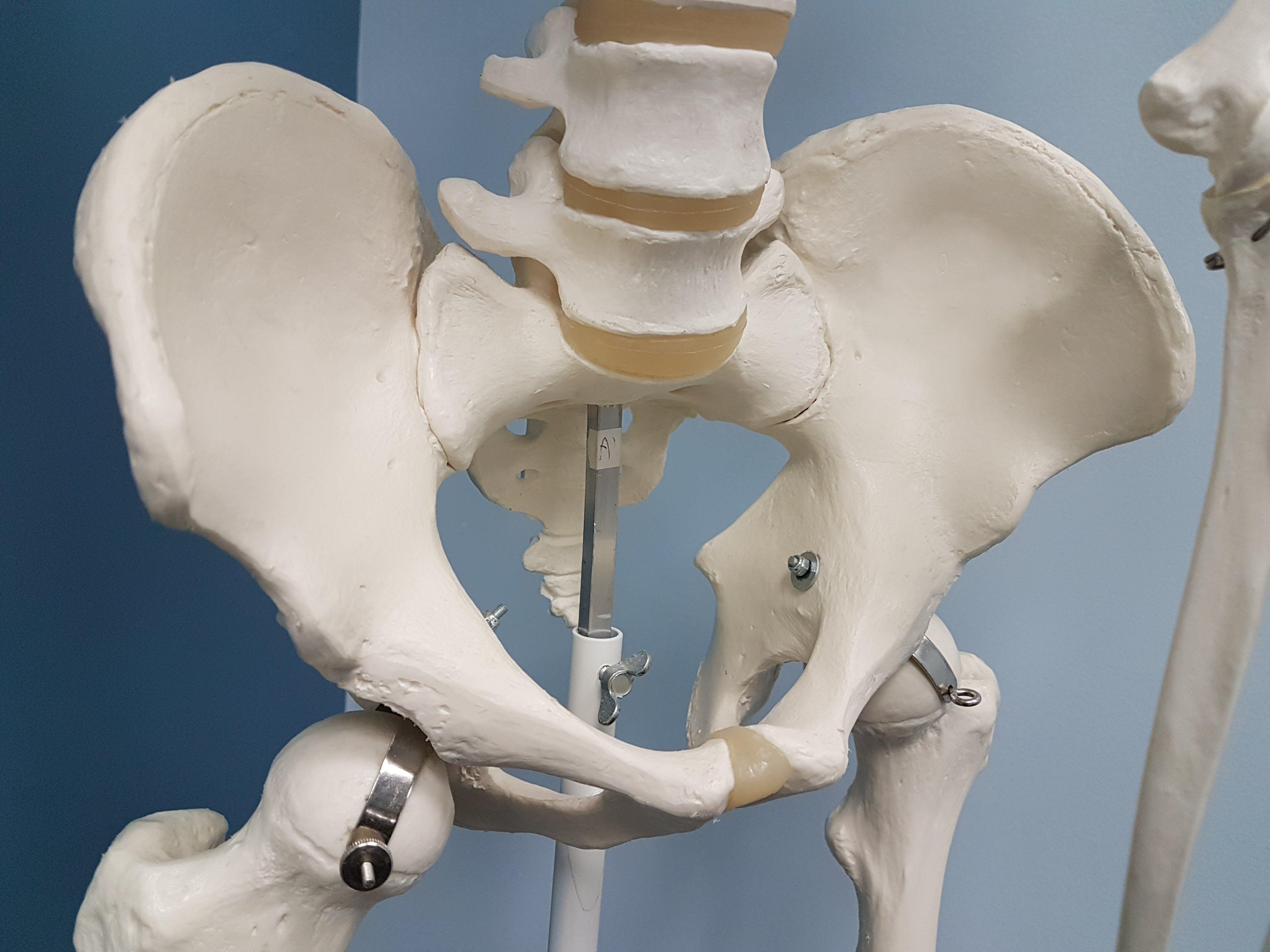Free stock photo of Pelvis, physiotherapy, skeleton