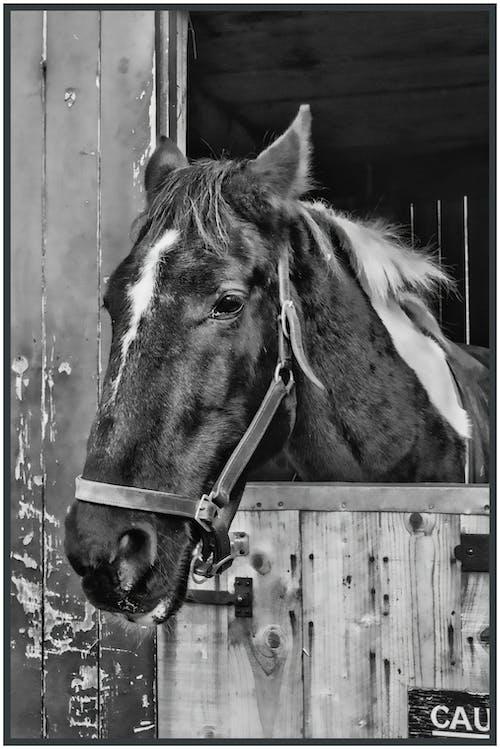Gratis arkivbilde med bit, hest, hoppe, ponni