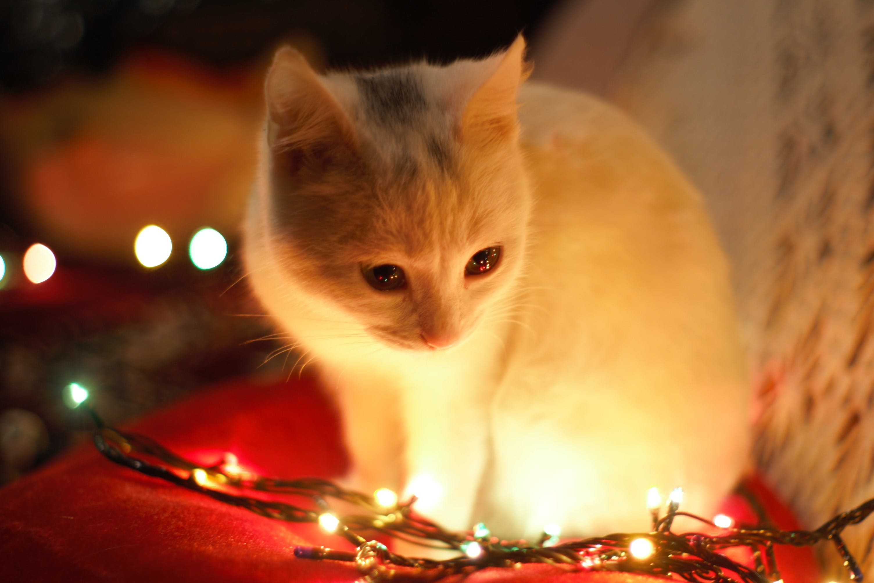 Close-Up Photography of White Cat Besides Christmas Lights
