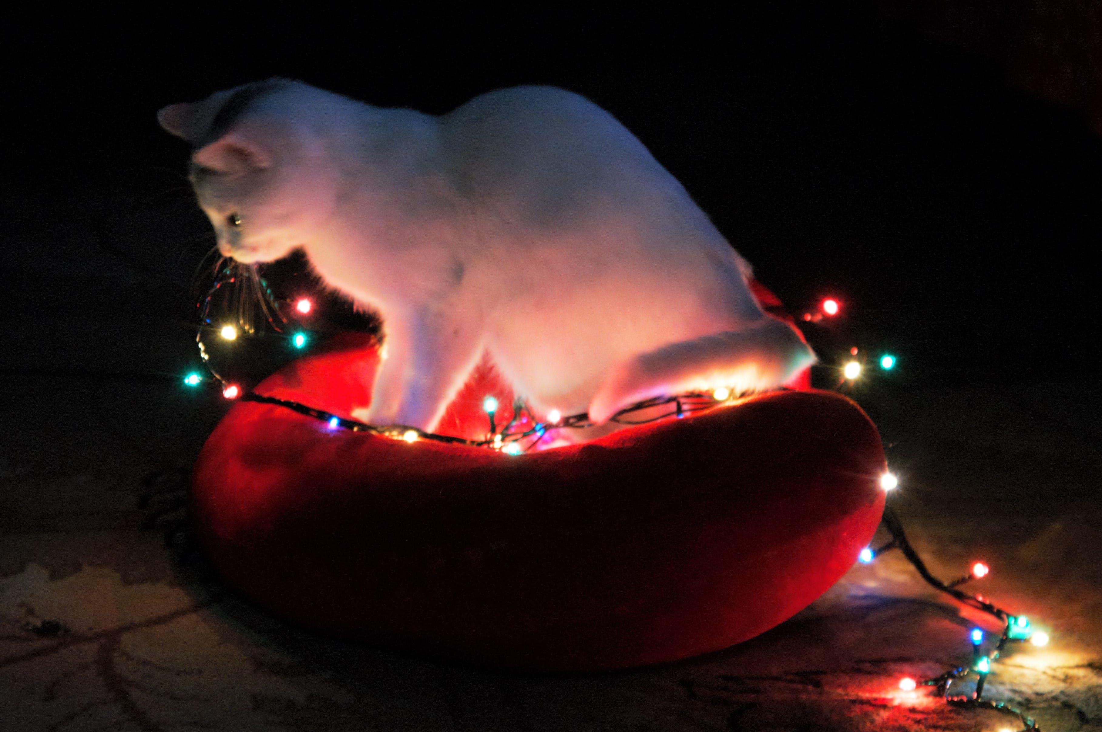 Free stock photo of white cat, christmas light