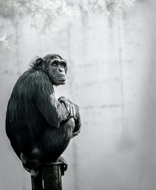 Chimpanzee Sitting on Wood