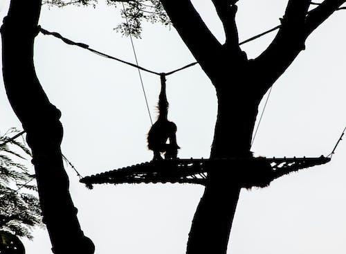 Gratis lagerfoto af abe, sort og hvid, vildt dyr