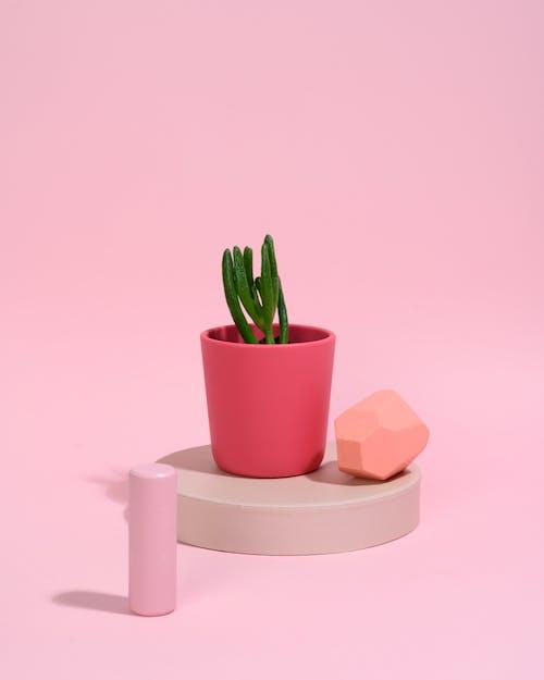 Gratis stockfoto met botanisch, crassula, crassulaceae