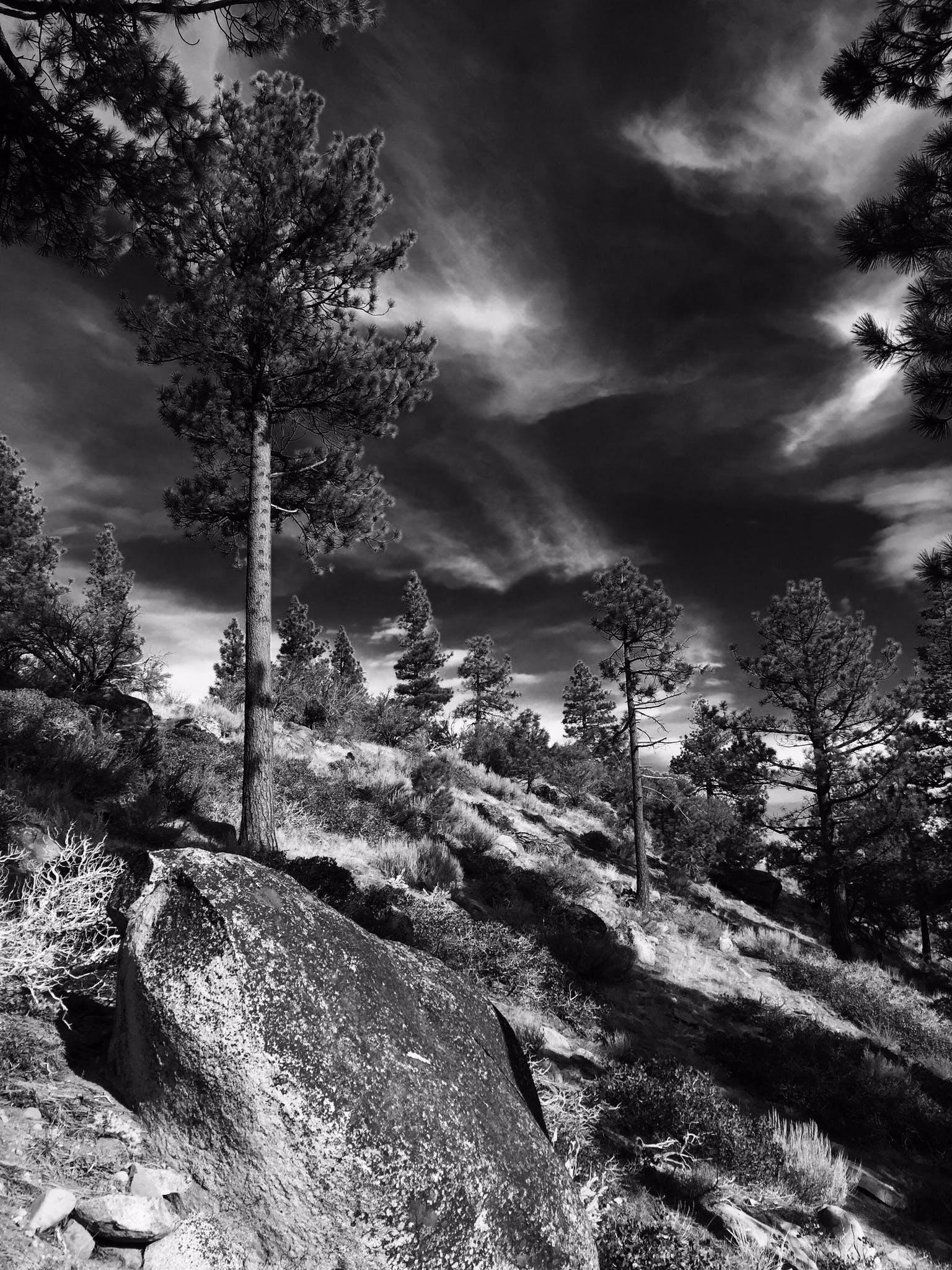 Free stock photo of pine trees, Sierra Nevada mountains