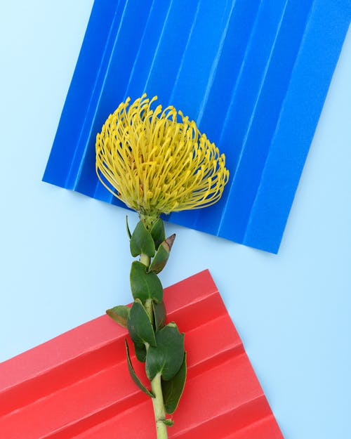 Photo of Protea Flower on Light Blue Background