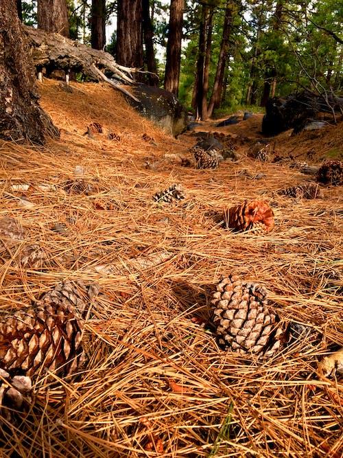 Kostnadsfri bild av barrkotte, grankotte, grenar, kottar