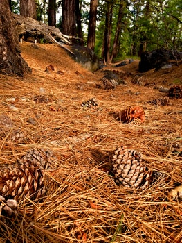 Photography of Pine Cones on Ground